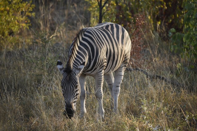 A zebra in Kruger National Park at sunrise